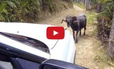 Kızgın ve İnatçı Koç Subaru'ya Yol Vermiyor
